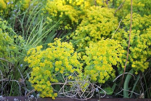 Euphorbia cyparissias Horticoles - euphorbe petit-cyprès cultivée  51166315142_87bee9bed6