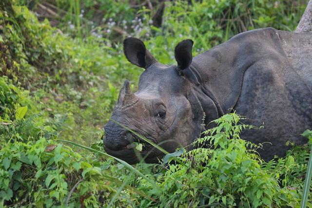 141118-Nepal CHITWAN Rhinoceros Blanc (20)