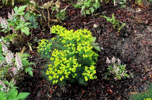 Euphorbia cyparissias Horticoles - euphorbe petit-cyprès cultivée  51166342927_141dd2eb70