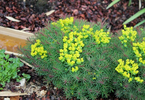 Euphorbia cyparissias Horticoles - euphorbe petit-cyprès cultivée  51166345332_69946379b5