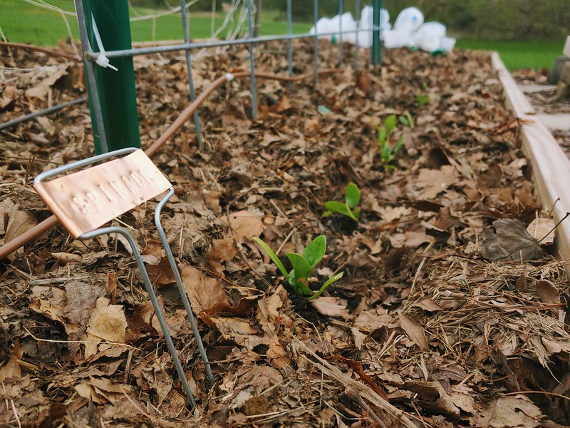 Bloomsdale Long-standing Spinach (winter sown, transplanted)