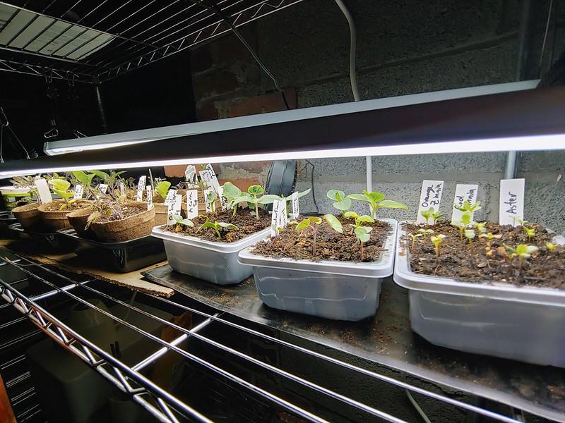 Seedlings in the indoor growing setup