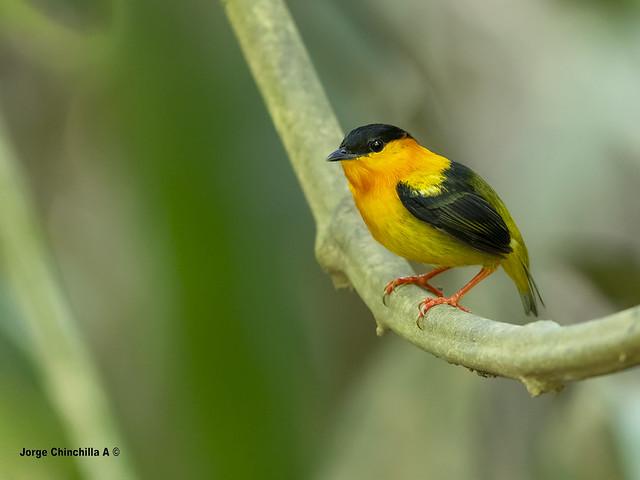 Orange-collared Manakin (Manacus aurantiacus)
