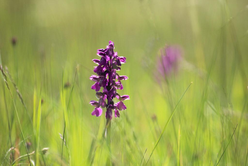 Wild orchid : Anacamptis morio / Vad orchidea : agárkosbor