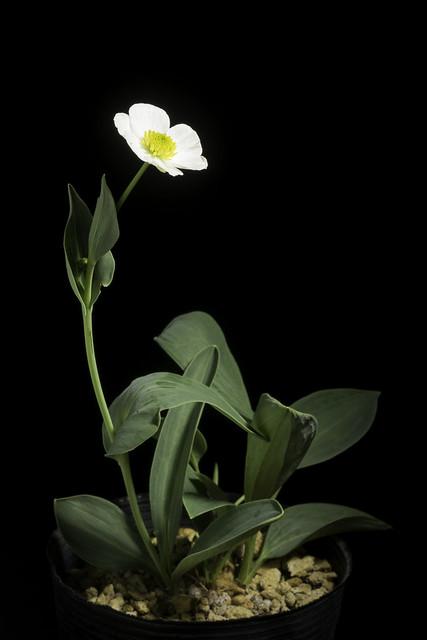 Ranunculus amplexicaulis L., Sp. Pl. 1: 549 (1753).