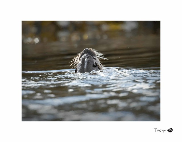 Otter Scotter in the water