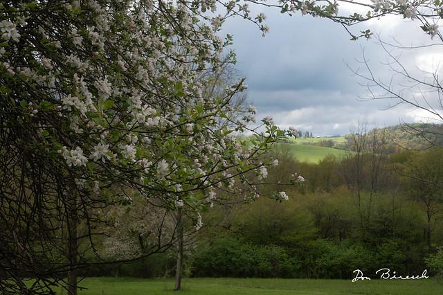 Apple Trees - DB Hill Tioga County PA
