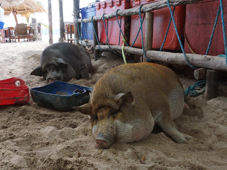 koh madsum pigs