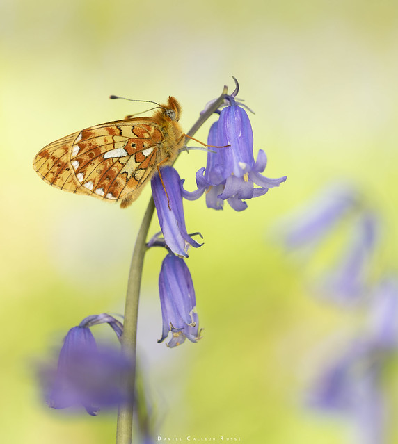 My first time seeing this beauty, The Pearl Bordered Fritillary - Boloria euphrosyne.