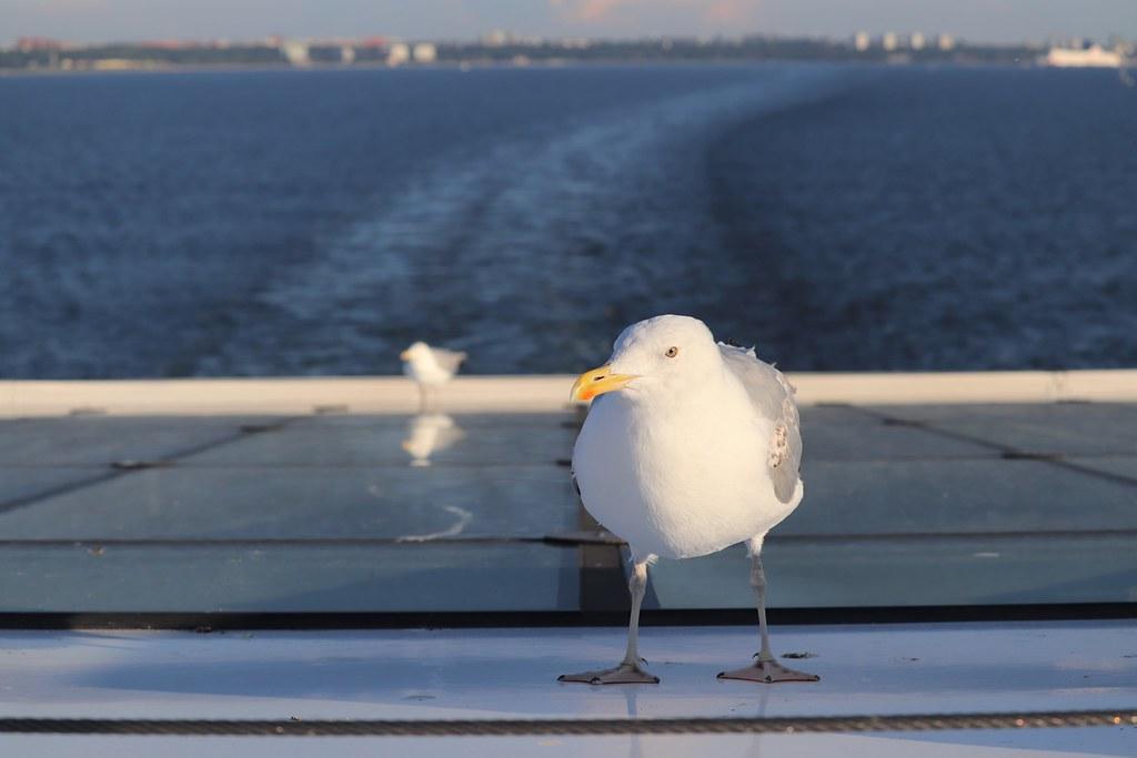 Tallinna_laiva_lokki