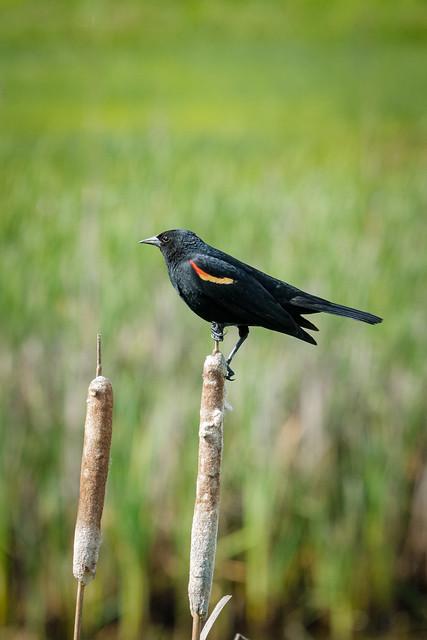 finley_blackbird