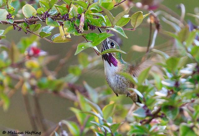 Male Calliope Hummingbird (Selasphorus calliope) - Vancouver, BC