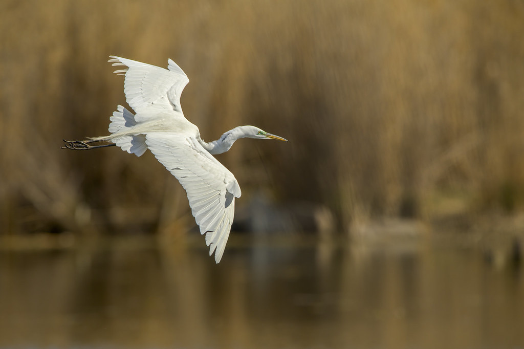 Final Approach   Great Egret