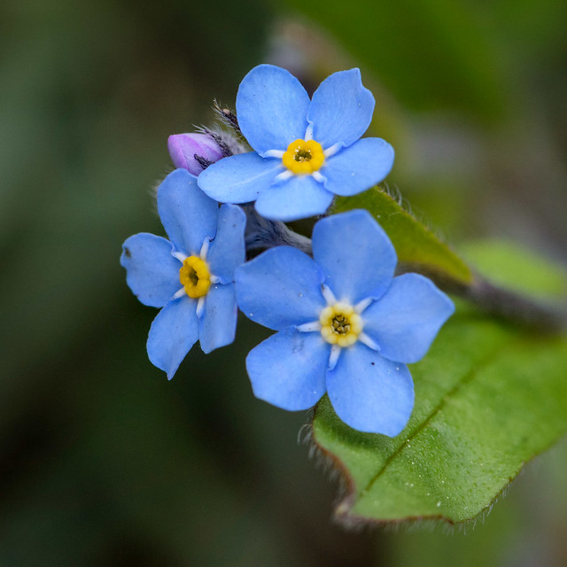Forget-me-not - 0472