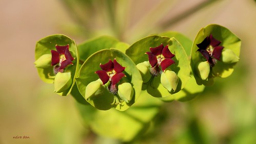 Euphorbia x martinii (amygdaloides x characias) - Page 3 51166979226_475569a3b2