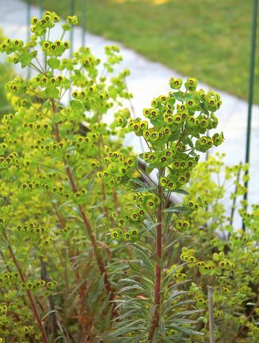 Euphorbia x martinii (amygdaloides x characias) - Page 3 51166981531_3a9e4bbeb5