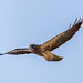 swainsons_hawk_in_flight-20210508-103