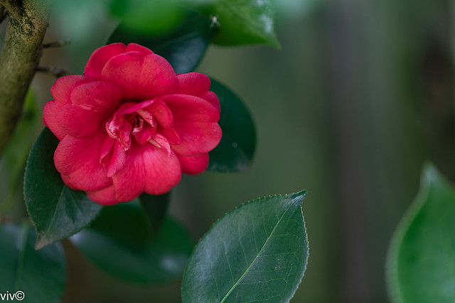 First of this season's red Camellia bloom from our garden
