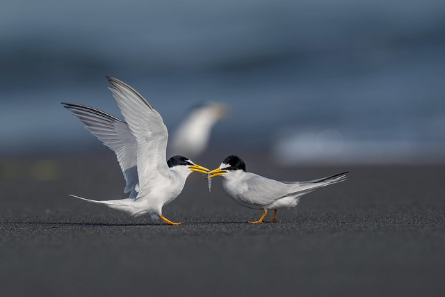 小燕鷗 Little Tern