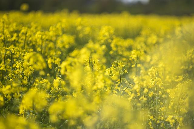 yellow blooming rape field IV