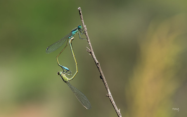Cópula atípica / Atypical mating