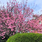 Pink Spring blossom in Preston