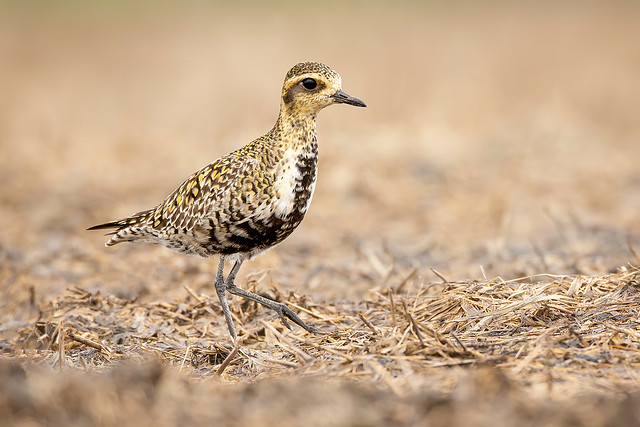 Big Day Pacific Golden Plover (Female)