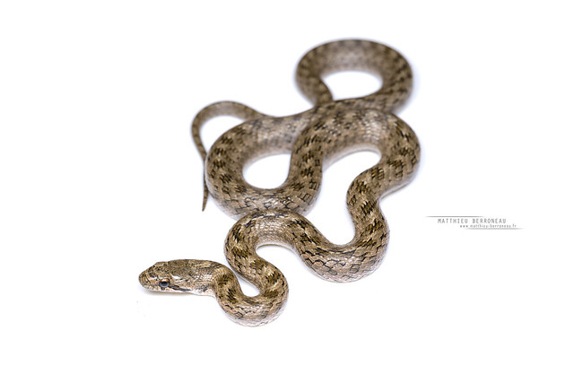 Southern Smooth Snake