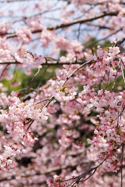 Sakura, Kyoto, Japan