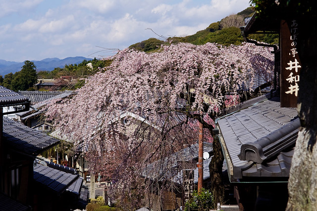 Sakura, Kyoto, Japan - Version 2
