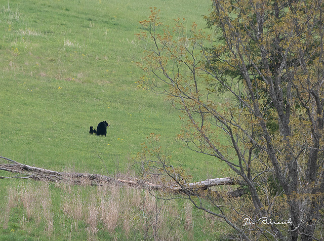 Bear and 2 cubs on Pipeline - Tioga County PA