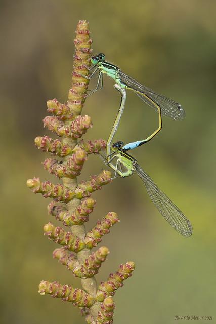 Ischnura elegans. Pair