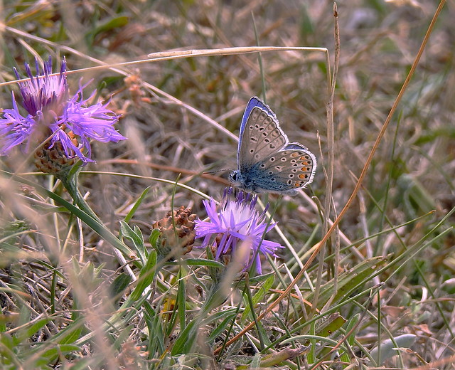 Common Blue At Our Eastcoast - Denmark