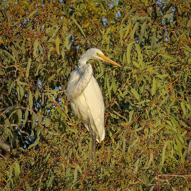 7:15am - lagoon creek - a great egret