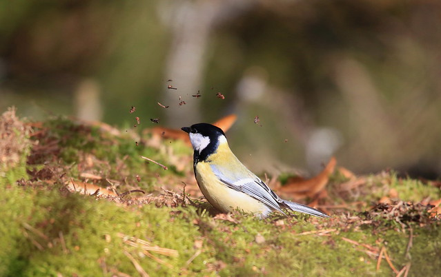 Great tit flicking seeds