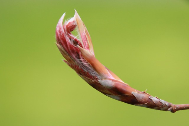 Leaf Bud #2 (5/3/2021)