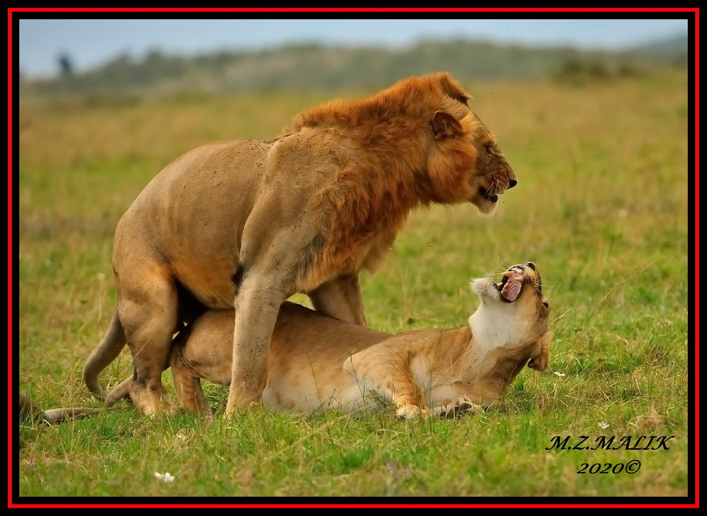 YOUNG KING OF JUNGLE (Panthera leo) WITH A LIONESS ....MASAI MARA....SEPT 2020.