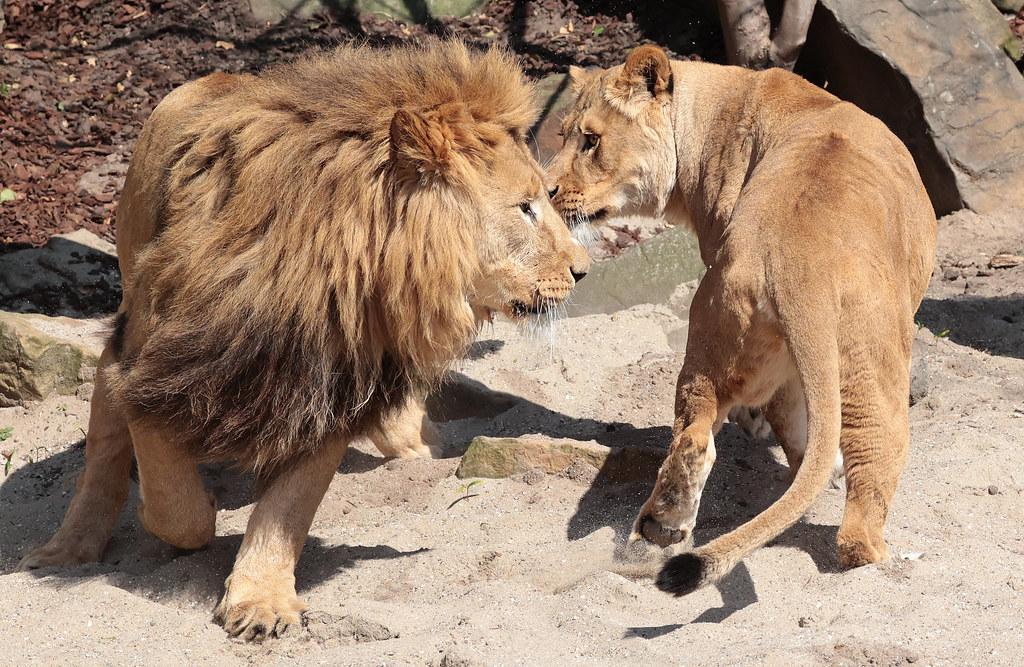 african lion Dembe artis 9K2A5467