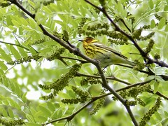 05-09-2021 Cape May Warbler.