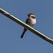 sparrow-20210508-109