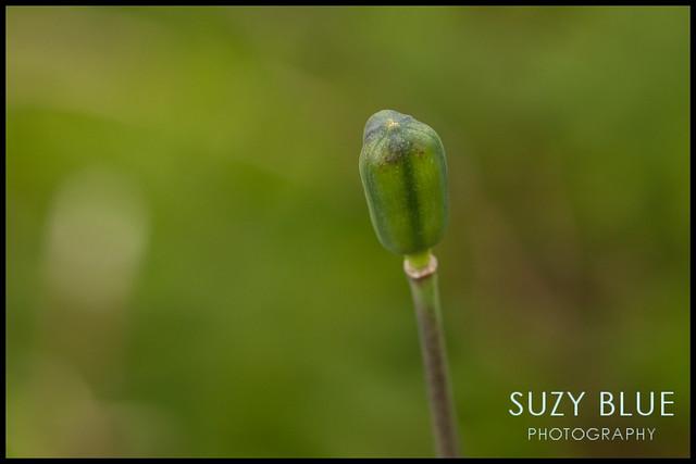 Snake's Head Fritillary seed head