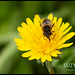 Female Hoverfly on Dandelion