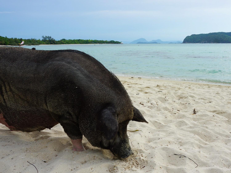 pig beach koh madsum