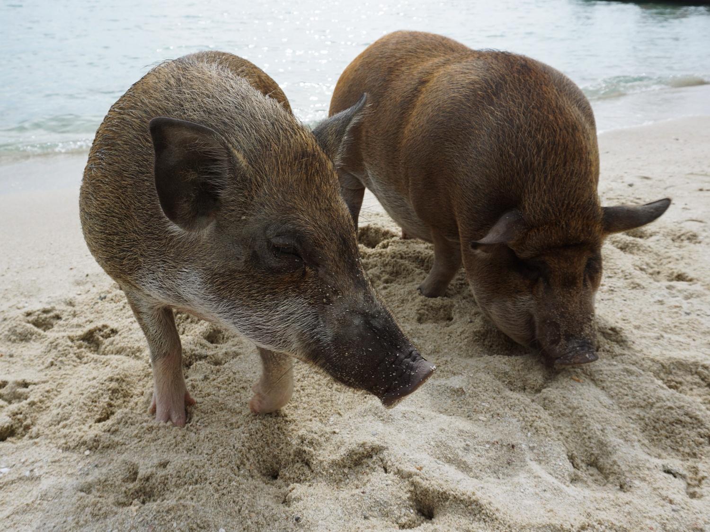 koh mat sum pigs