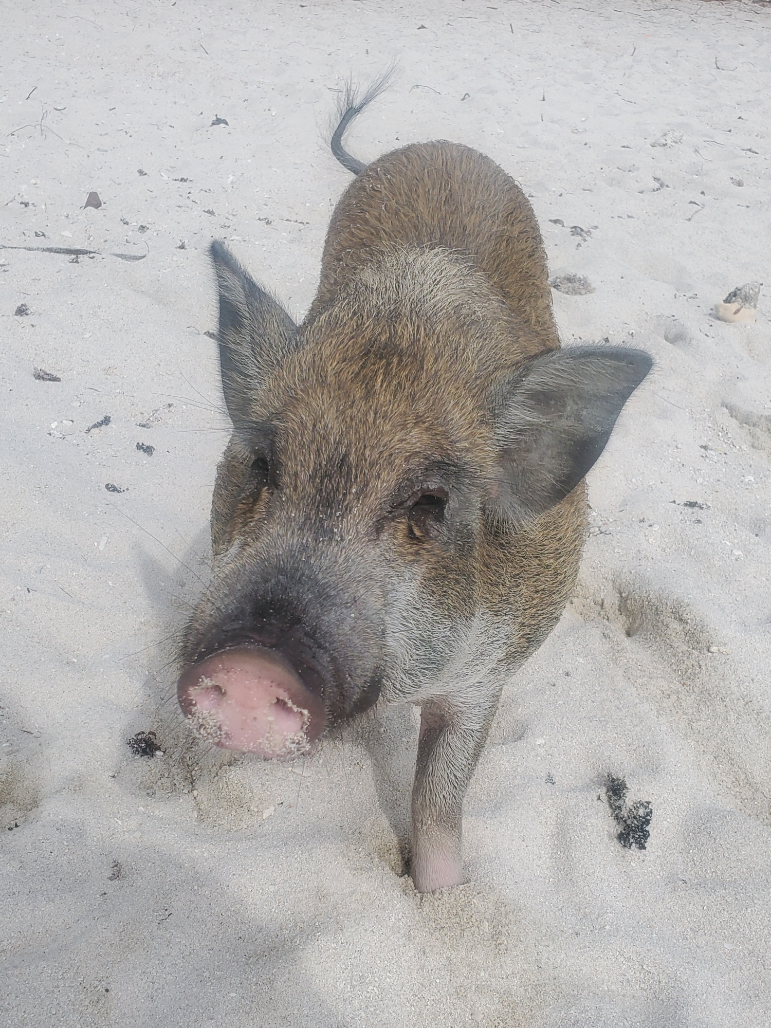 koh madsum pig