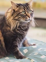 Missy the Cat, portrait photos with m.zuiko 75mm f1.8