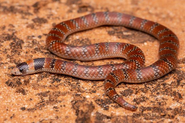 Australian Coral Snake - Brachyurophis australis