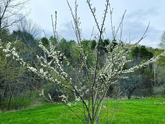 Blossoms on the plum tree. Maybe weu2019ll actually get plums this year? We planted this five or so years ago and still havenu2019t gotten any fruit from it. I think there are five varieties grafted to this one tree.