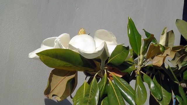 4_Magnolia