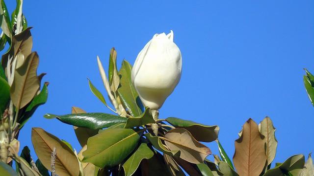 2_Magnolia